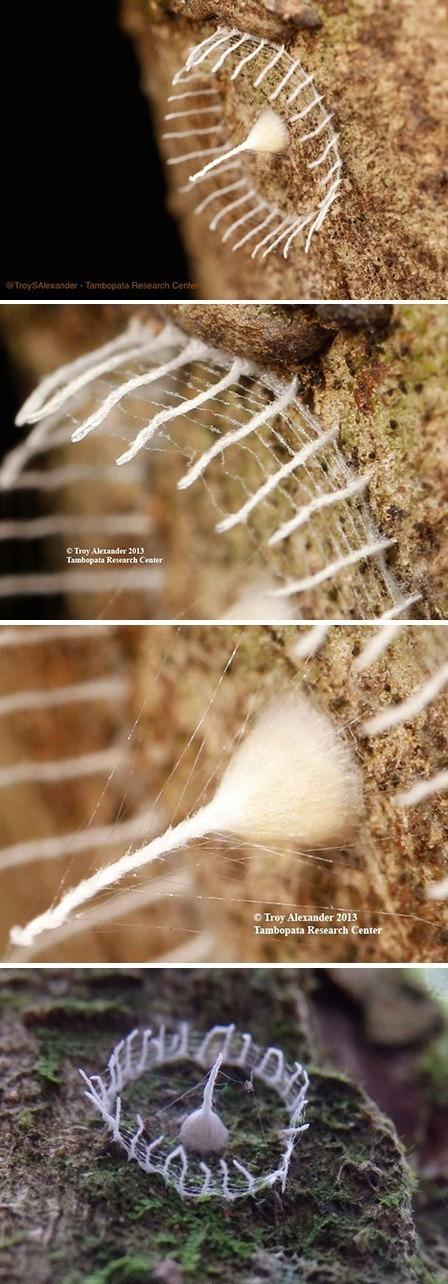 detail insecte qui construit de veritables clotures autour de ses œufs